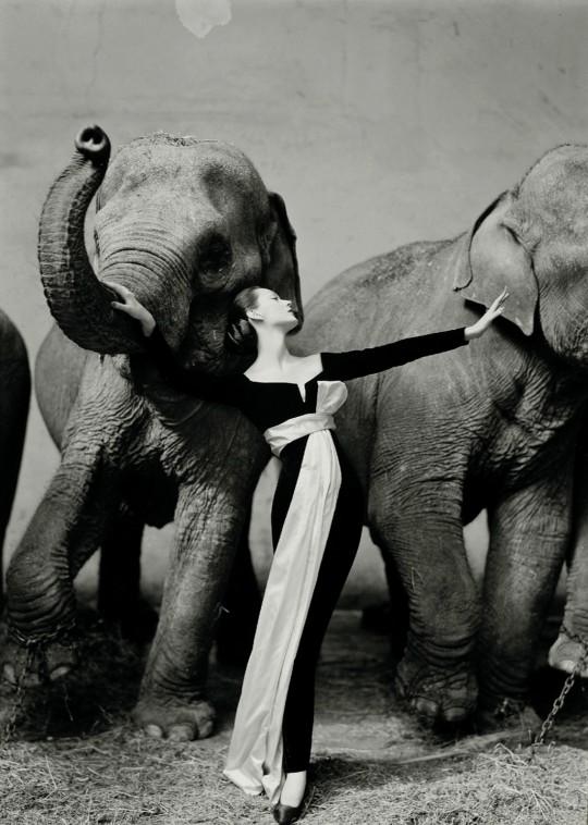 Dovima và đàn voi. Ảnh: Richard Avedon